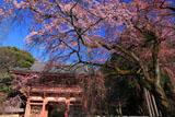 醍醐寺 枝垂桜と仁王門
