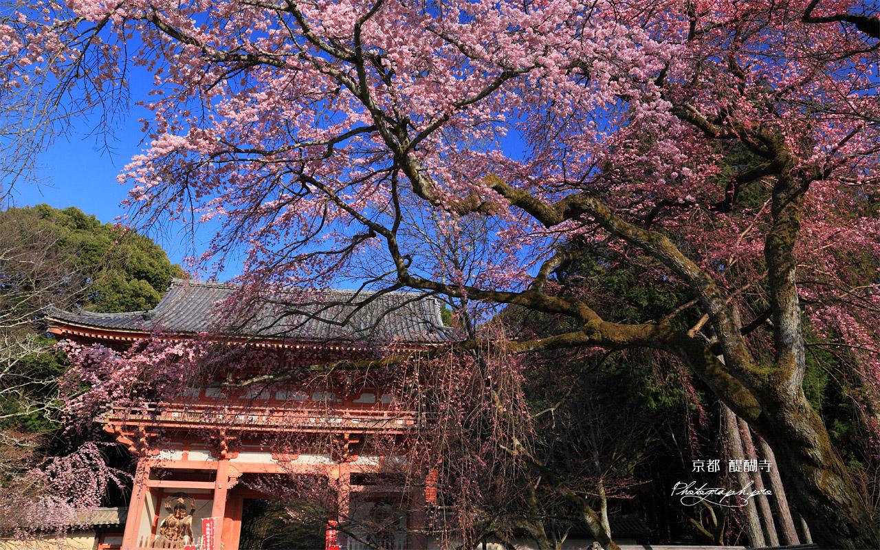 醍醐寺 枝垂桜と仁王門 壁紙