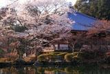 醍醐寺 桜と大講堂