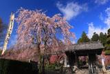光前寺仁王門と枝垂れ桜
