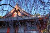 醍醐寺 枝垂れ桜と金堂