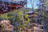 醍醐寺 桜と五重塔