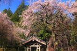 しだれ桜と光前寺鐘楼