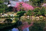 法金剛院 苑池に映る待賢門院桜