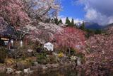 桜と光前寺池泉回遊式庭園