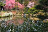 法金剛院 雪柳と桜