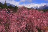 紅枝垂桜と中央アルプス