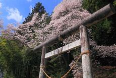 神明神社のサクラ