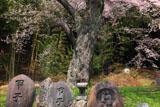 双体道祖神と神明神社のサクラ