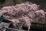 京都十輪寺のなりひら桜
