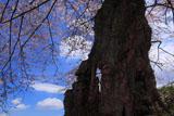 大日堂のヒガンザクラの太い樹幹