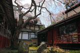 京都十輪寺の天蓋の桜