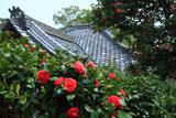 京都十輪寺のツバキ