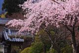 京都正法寺 サクラと山門