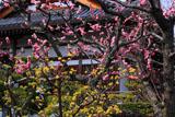 京都正法寺 ウメとサンシュユ