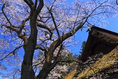 朝日将軍木曽義仲公手植桜