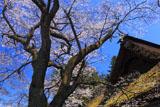 光輪寺薬師堂桜