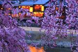 鴨川 花の回廊のシダレザクラ