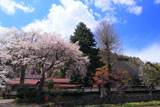 朝日村 光輪寺のしだれ桜