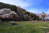 信州 光輪寺の桜