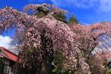 5分咲きの乙事の枝垂れ桜