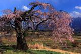 午後の葛窪枝垂桜