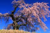見上げた葛窪しだれ桜