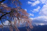 葛窪しだれ桜と甲斐駒ケ岳