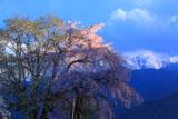 西日に照らされた田端しだれ桜