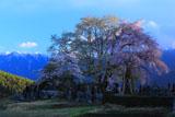 残照の田端しだれ桜