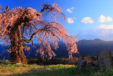 葛窪しだれ桜