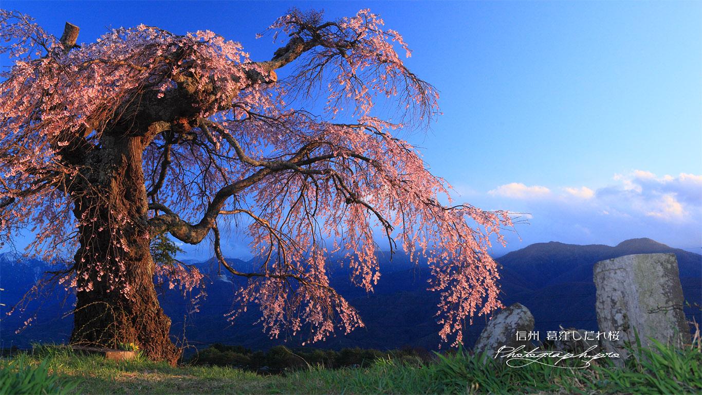 石仏と葛窪しだれ桜 壁紙