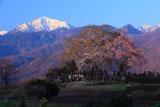朝陽を浴びた田端しだれ桜