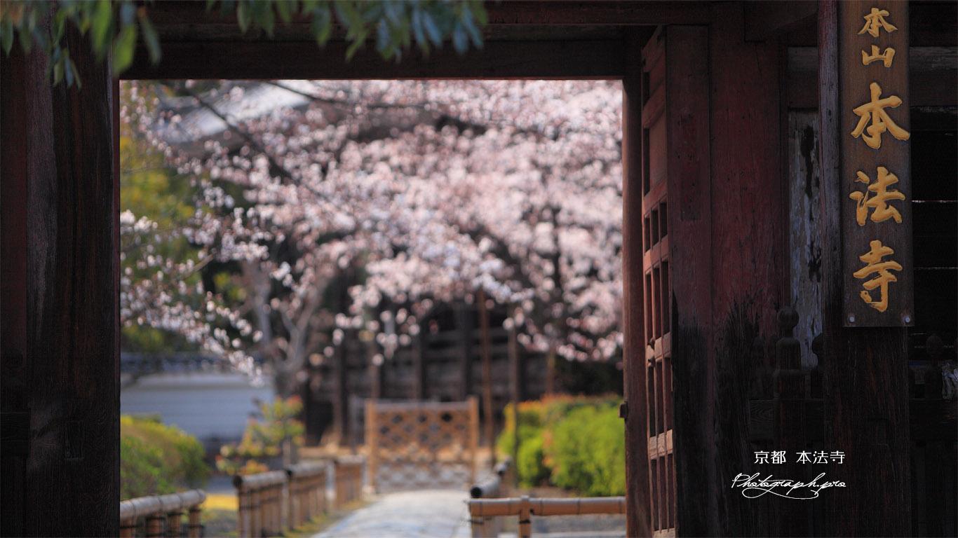本法寺 仁王門越しの桜 壁紙