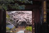 本法寺 仁王門越しの桜