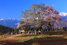 信州諏訪の桜