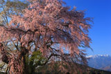 鳳凰山と田端しだれ桜