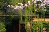 裏千家今日庵 桜と表門