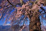 朝の葛窪しだれ桜