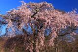 高森墓地しだれ桜