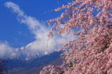 高森墓地しだれ桜と甲斐駒ケ岳