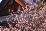 妙蓮寺 御会式桜と本堂