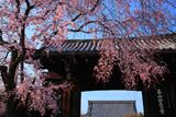 妙覚寺 枝垂桜と大門