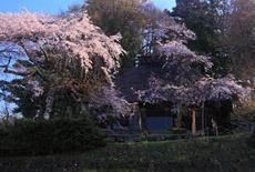 高森観音堂の枝垂桜