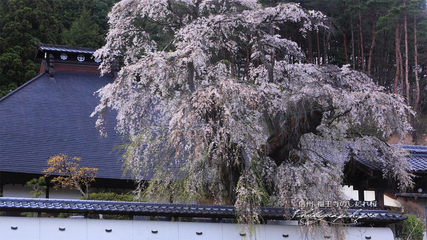 福王寺の枝垂れ桜と本堂 壁紙
