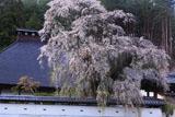 福王寺の枝垂れ桜と本堂