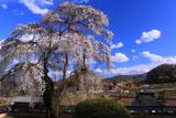 福王寺のしだれ桜