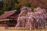 上賀茂神社 御所桜と御所舎