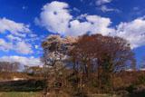 大井家の江戸彼岸桜