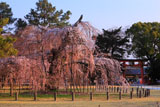 上賀茂神社 御所桜と一ノ鳥居